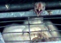 זוגלובק - תרנגול הודו זועק בכאב