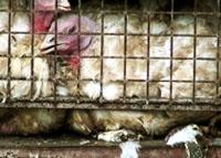 זוגלובק- תרנגול הודו בכלוב