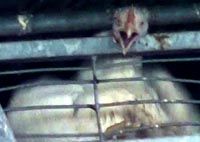 תרנגול צועק בכאב
