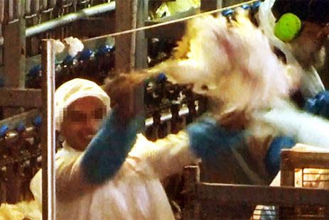 עובד משחטת זוגלובק רוקד עם תרנגול מבועת