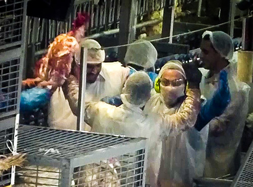 עובדי המשחטה - ביניהם אחד השוחטים - מניפים תרנגול גוסס לאחר שחיטתו - ורוקדים